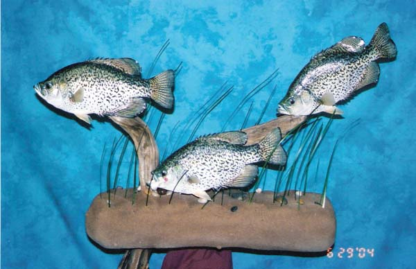 3 Black Crappie on Wall Mounted Base