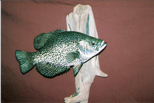Black Crappie on Driftwood